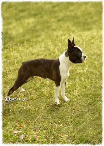 Terie Boston - Boston (Boston Terrier)
