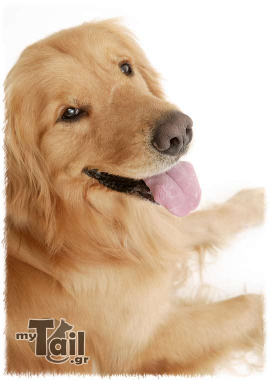 Ritriver Oro (Golden Retriever)