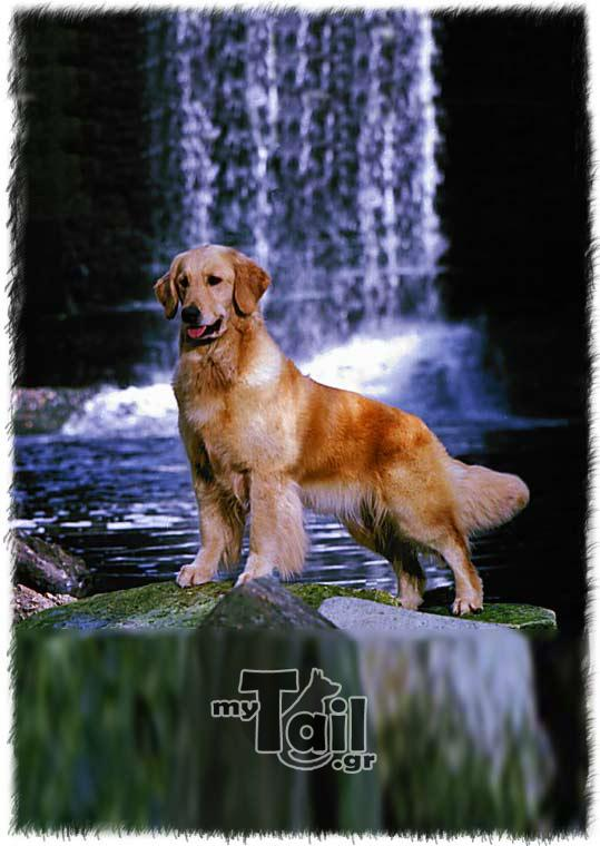 Golden Ritriver (Golden Retriever)