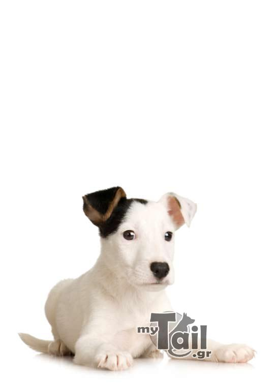 Terie Jack Russell (Jack Russell Terrier)