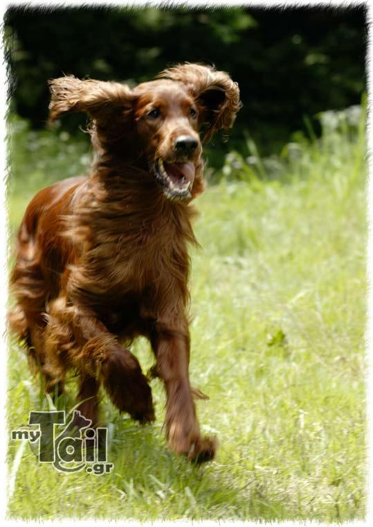 Irish Seter (Irish Setter)