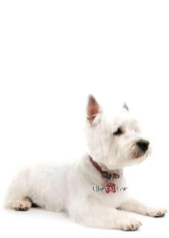 West Highland Blanco Terie (West Highland White Terrier)