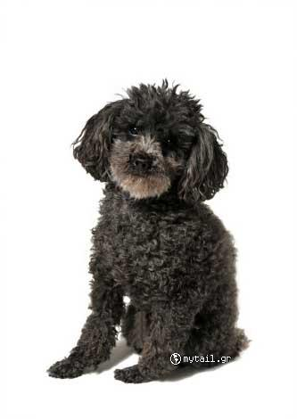 Black Kanis (Caniche Black)