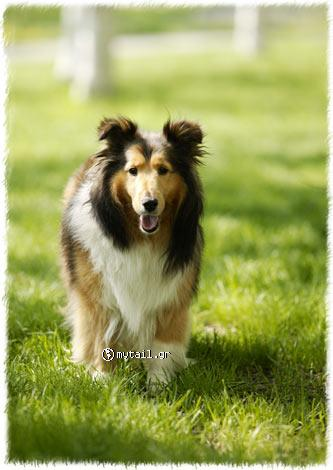 Glues (Collie)
