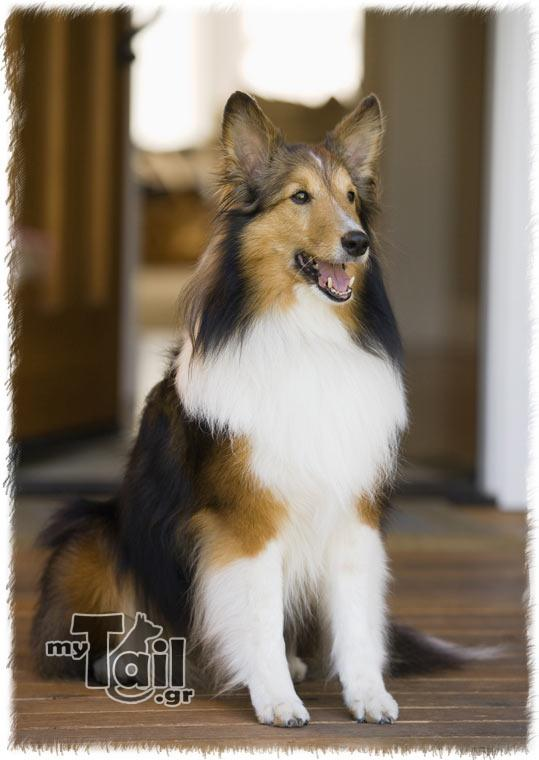 Colas (Collie)