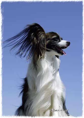 White with a black bow tie (Papillon)