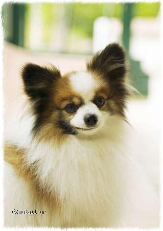 Brown with white bow tie (Papillon)